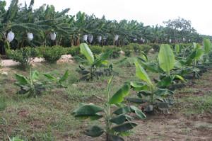 Portada Gobierno recupera La Cruz de Manzanillo_ exporta 8 mil cajas banano y plátano